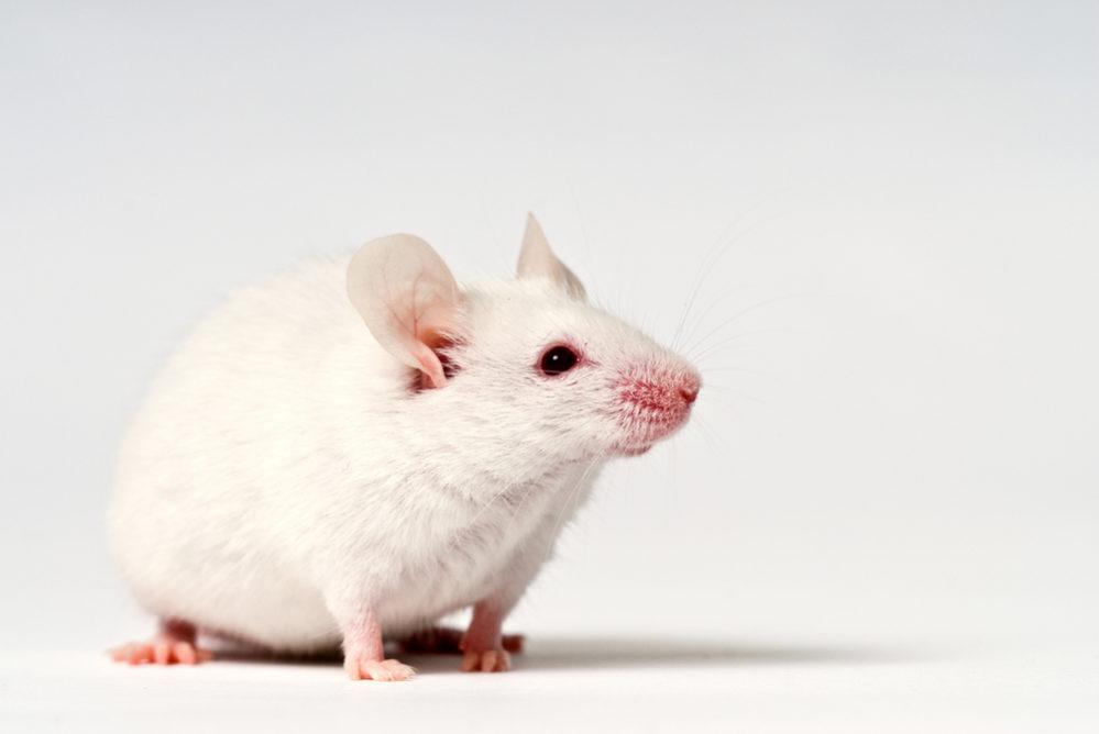 マウス ラット 違い 「マウス」と「ラット」「モルモット」の違いは?