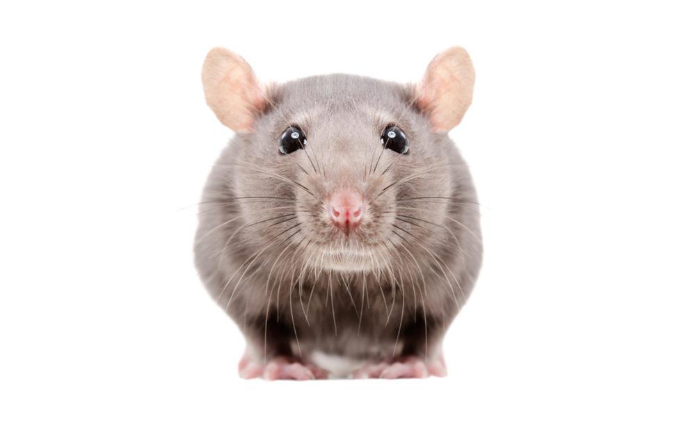 マウス ラット 違い ネズミのことが良く分かる!「マウス」と「ラット」の違い