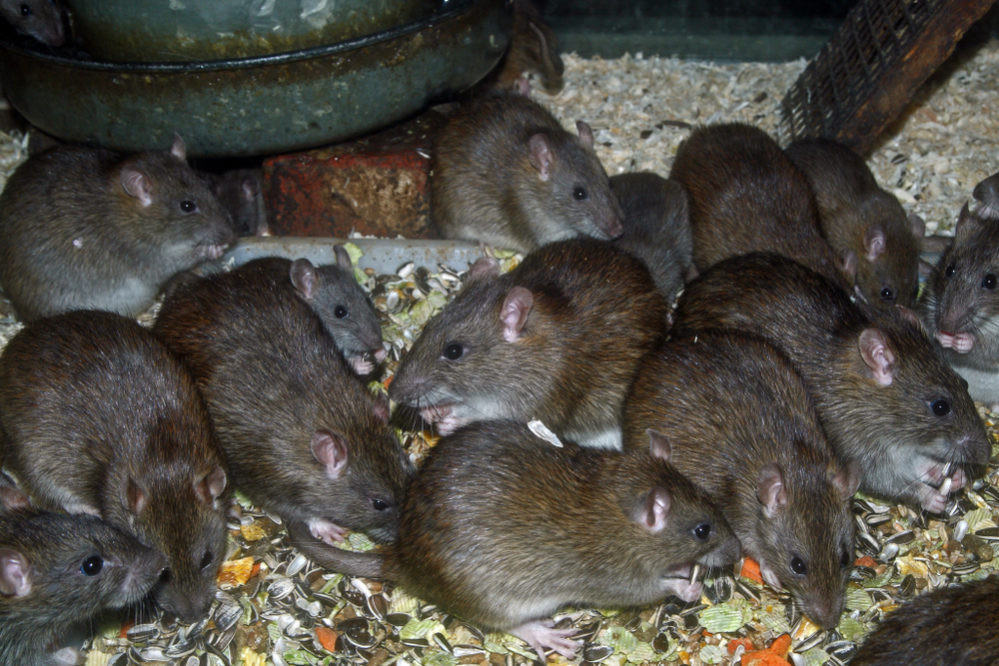 マウス ラット 違い マウスとラットの違いはこうなっている? 意味や由来違いの情報