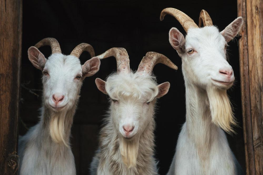 区別できる?「羊」と「山羊(やぎ)」の違い | スッキリ