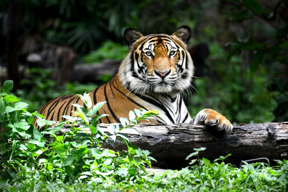 故事成語「虎の尾を踏む」の意味と使い方:例文付き – スッキリ