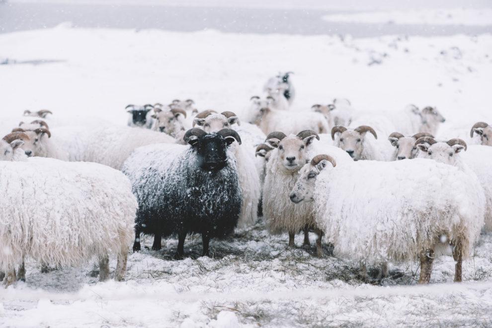 黒い 羊 は どこで すか